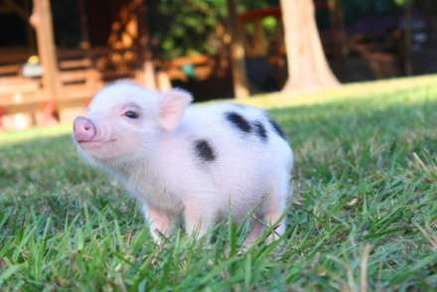 The Micro Porker Likewise Called A Teacup Pig Is Focal Point In UK Along With United States Porkers Are Adorable Pint Size